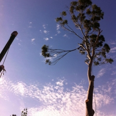 Lemon-Scented-gum-tree-removal-of-a-controlled-free-fall-branch