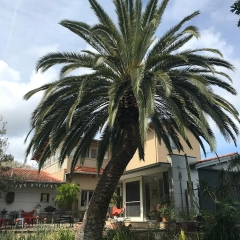 Palm-tree-pruning-