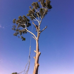 Lemon-Scented-gum-tree-removal-of-a-controlled-branch-being-lowered